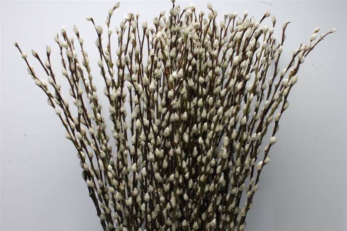 <h4>Salix Ca Snow Flake</h4>