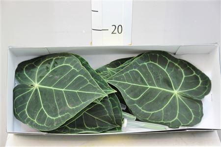 <h4>Anthuriumblad Clarinervum</h4>