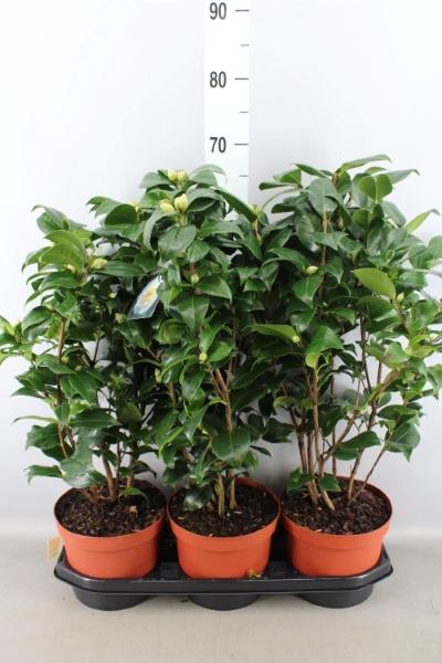 <h4>Camellia japonica</h4>