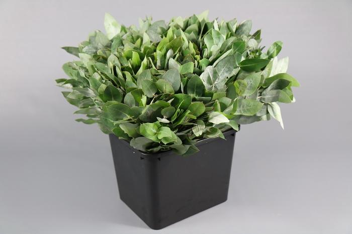 <h4>Eucalyptus Robusta</h4>