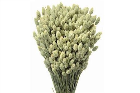 <h4>Dried Phalaris Natural</h4>