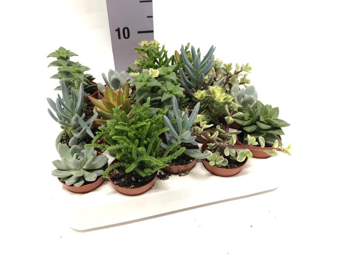 <h4>Succulenten mixed 5,5Ø 8cm Mix</h4>