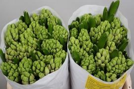 <h4>Hyacint Splendid Cornelia</h4>
