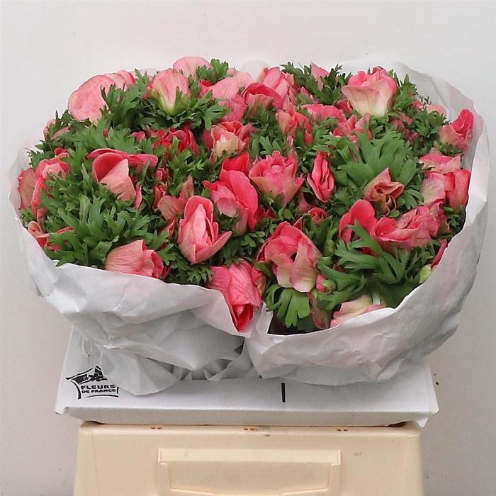 <h4>Anem Mistral Pink Super Xl</h4>