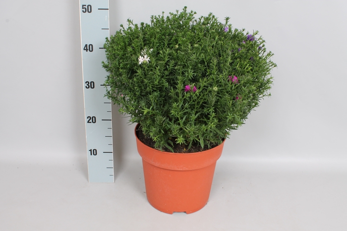 <h4>vaste planten 24 cm Aster Trio</h4>