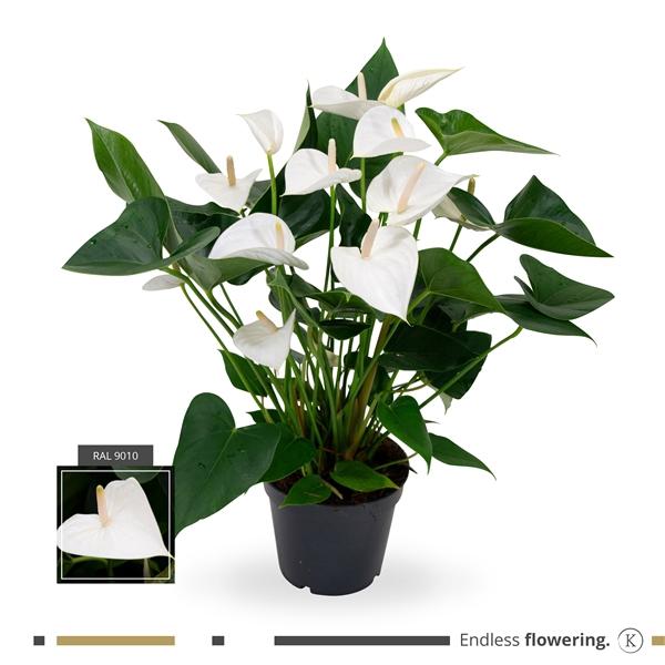 <h4>Anthurium 'White Winner'</h4>