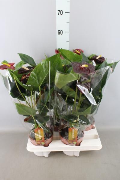 <h4>Anthurium andr. 'Aramon'</h4>