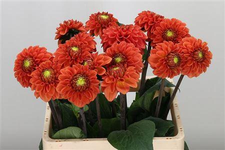 <h4>Dahlia Orange Fox</h4>