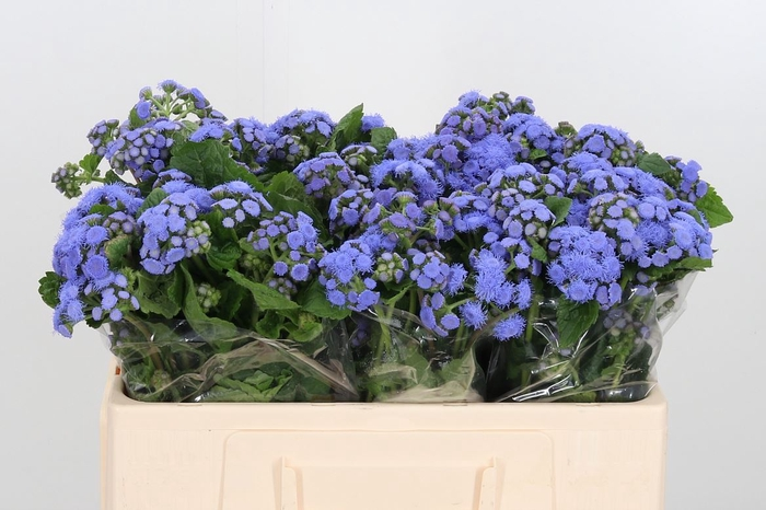 <h4>Ageratum Blue Horizon</h4>