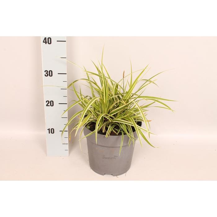 <h4>vaste planten 19 cm  Carex morrowii Goldband</h4>