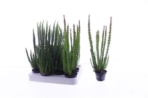 <h4>Calluna vulg. Skyline mix</h4>