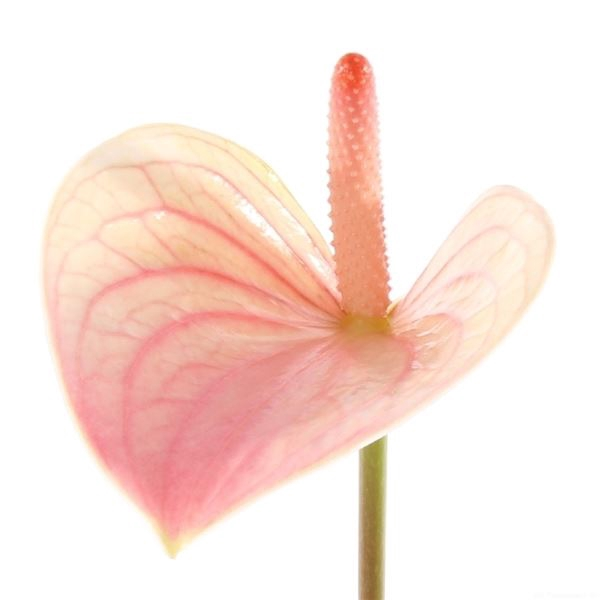 <h4>Anthurium andr. 'Fantasy Love Impr'</h4>