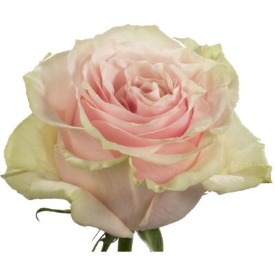 <h4>R Gr Pink Mondial Bicolor 60cm EC</h4>