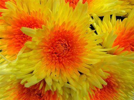 <h4>Chr G Ana Yellow-oranje</h4>