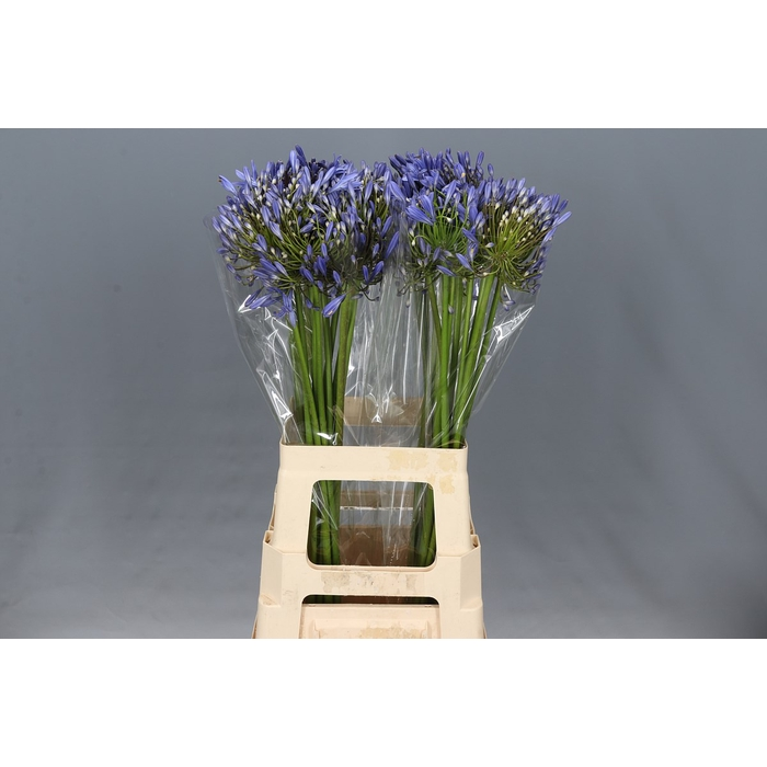 <h4>Agapanthus Blue Heaven</h4>