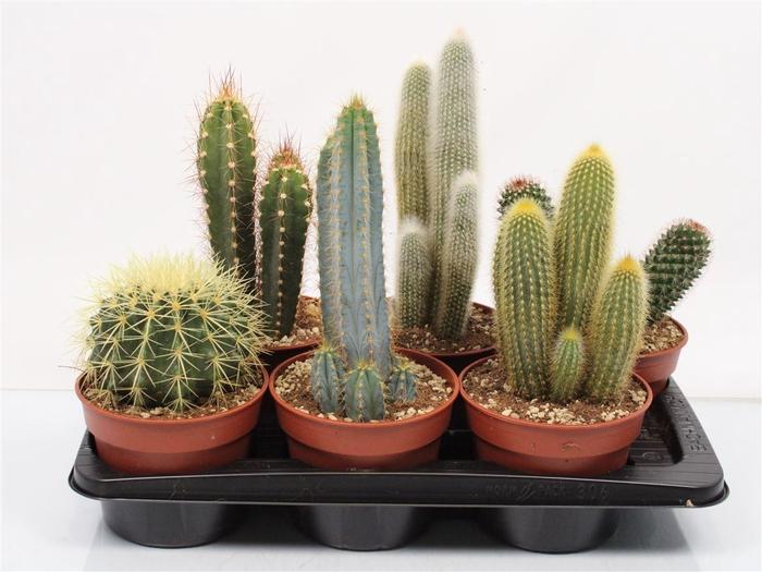 <h4>Cactus Mixtray</h4>