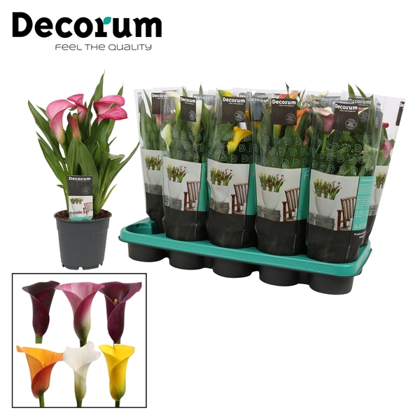 <h4>Zantedeschia Mix (Decorum)</h4>