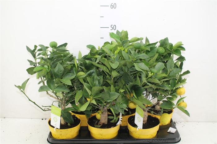 <h4>Citrus Limetta Pursha Mini Stam Limoen</h4>