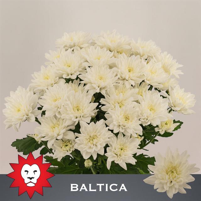 <h4>CHR T BALTICA</h4>