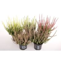 <h4>Calluna vulgaris Beauty Lady® In Sorten</h4>