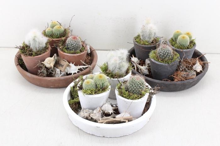 <h4>arr. MB Cactus - Schaal 3pot</h4>