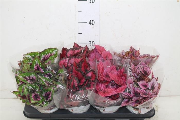 <h4>Begonia Blad Beleaf Gemengd</h4>