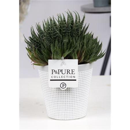 <h4>Aloe Aristata In Pure Clay Ii Grey</h4>