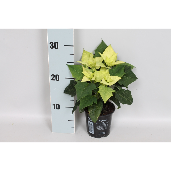 <h4>Poinsettia 10,5 cm Mojito</h4>