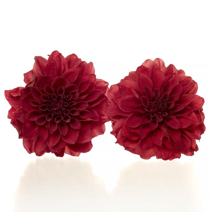 Dahlia red 5,5-6cm