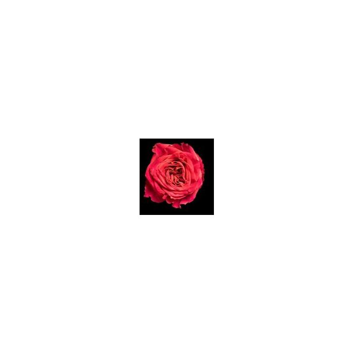 <h4>Rosa Gr. DFR103</h4>
