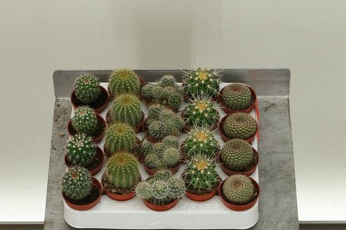 <h4>Bolcactus Gemengd</h4>