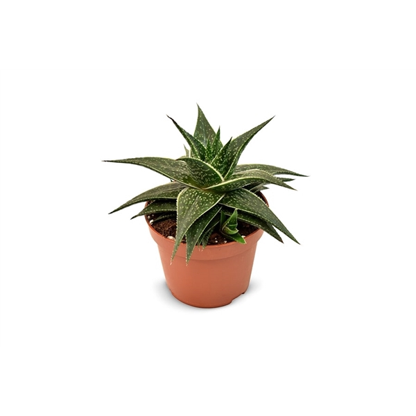 <h4>Aloe Hodi - Premium</h4>