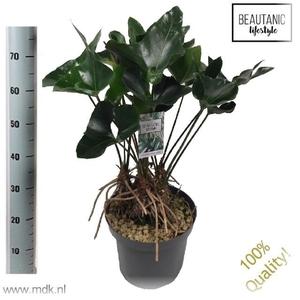 Anthurium Arrow 30Ø 75cm