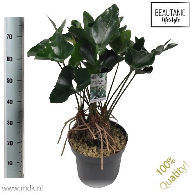 <h4>Anthurium Arrow 30Ø 75cm</h4>