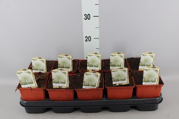 <h4>Allium stipitatum 'Mount Everest'</h4>