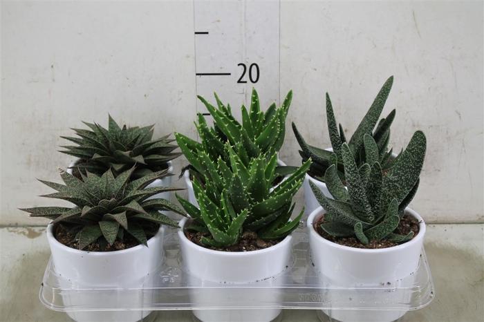 <h4>Aloe Gemengd Keramiek</h4>