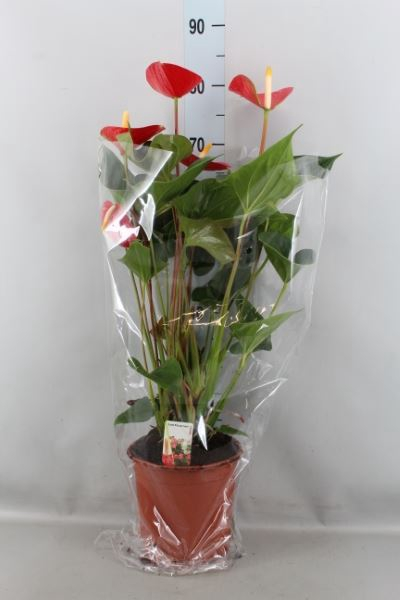 <h4>Anthurium andr. 'Love Burning'</h4>