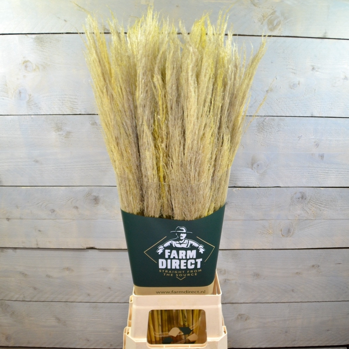 <h4>PAMPAS YELLOW DRIED</h4>
