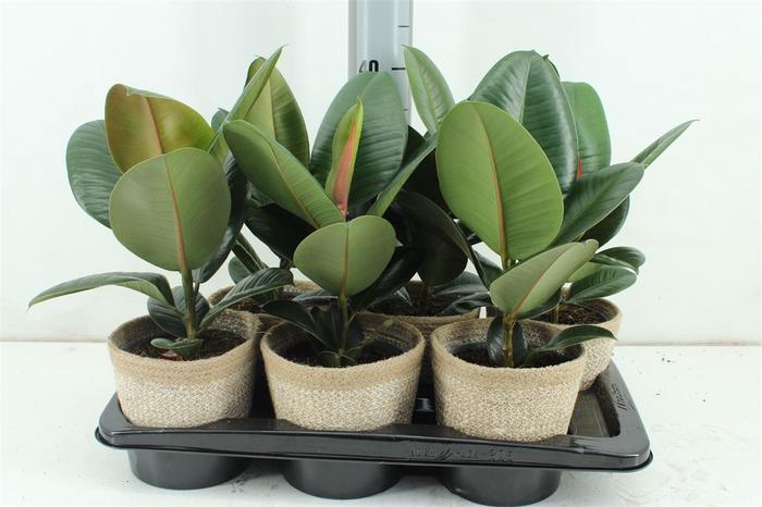 <h4>Ficus Robusta In Mand Nature P15 Cm</h4>