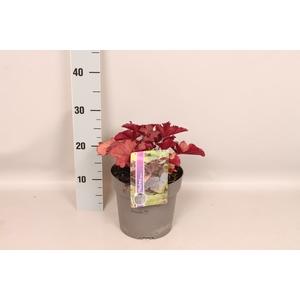 vaste planten 19 cm  Heuchera CoralBerry