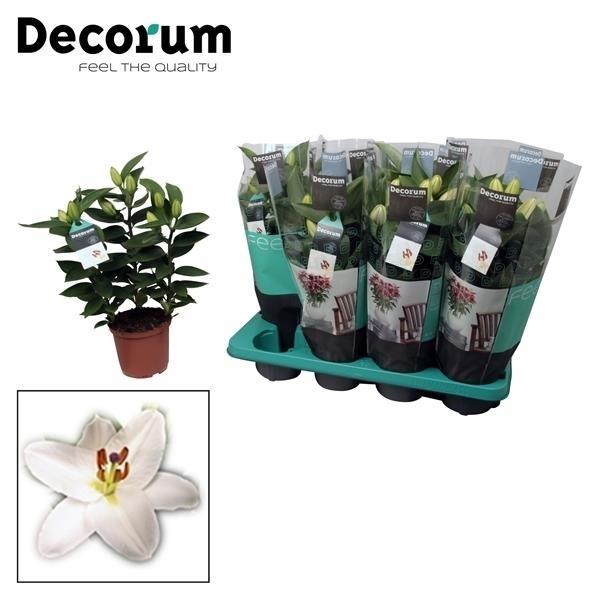 <h4>Lilium or. Souvenir White</h4>
