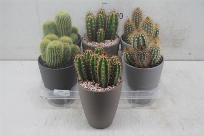 <h4>Cactus Gemengd In Bruin Grijs Keramiek</h4>