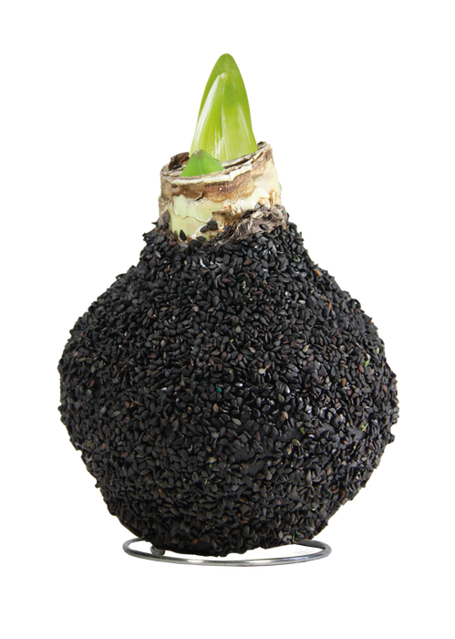 <h4>WAX AMARYLLIS Touch of Natural Black</h4>
