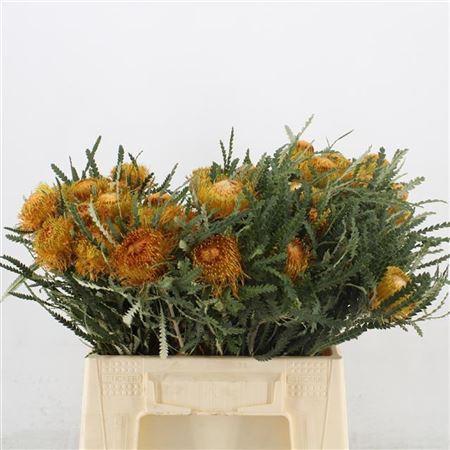 <h4>Banksia Speciosa Con</h4>