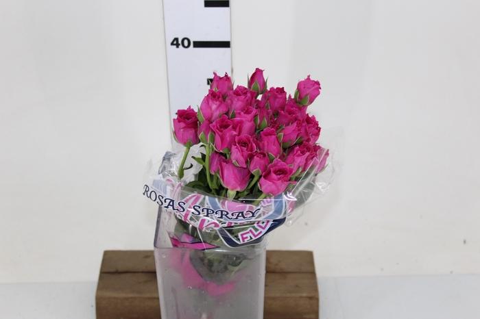 <h4>ROSA SPRAY HOT MAJOLIKA 040 CM</h4>