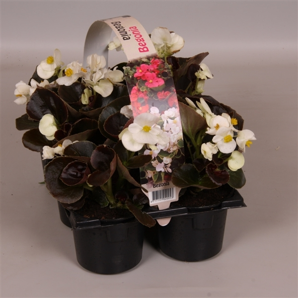 <h4>Begonia Semperflorens donkerbladig wit 6p</h4>