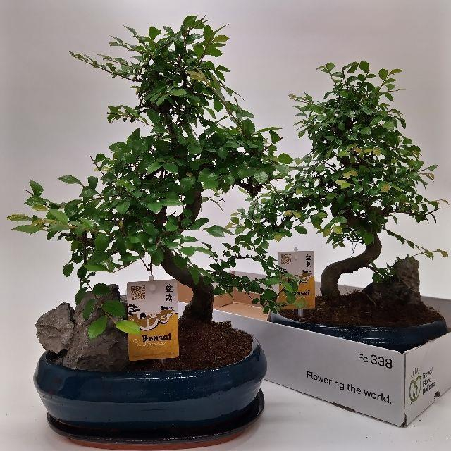 <h4>BONSAI OV</h4>