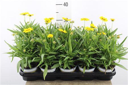 <h4>Coreopsis Sonnekind</h4>