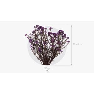 Helychrisum Diosmi Blue Lavender HDI/0610