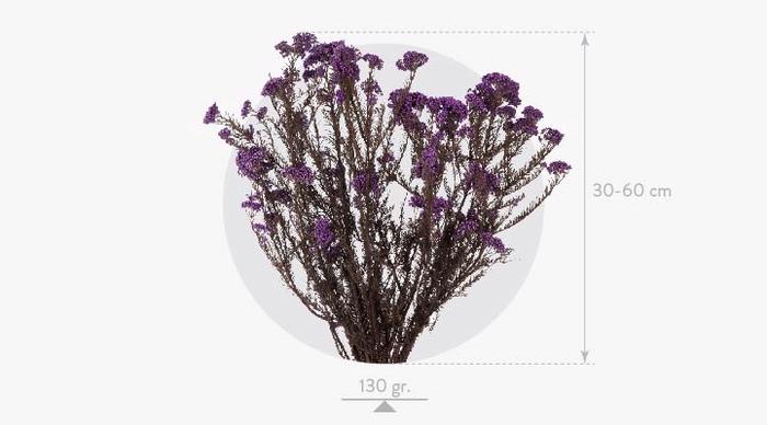 <h4>Helychrisum Diosmi Blue Lavender HDI/0610</h4>